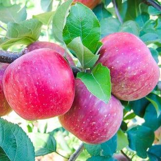 Măr Fuji imagine 6
