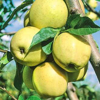 Măr Golden Super imagine 7