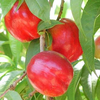 Nectarin Aeris imagine 5