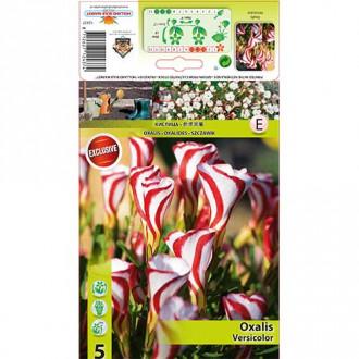 Oxalis Versicolor imagine 1