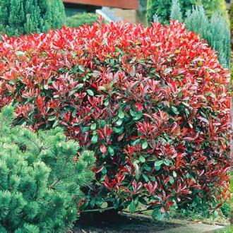 Photinia fraseri Dynamo Red imagine 3