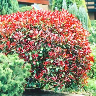 Photinia fraseri Little Red Robin imagine 1
