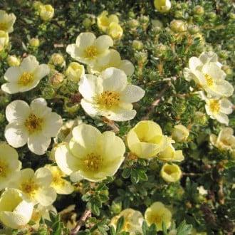 Potentilla Primrose Beauty imagine 3
