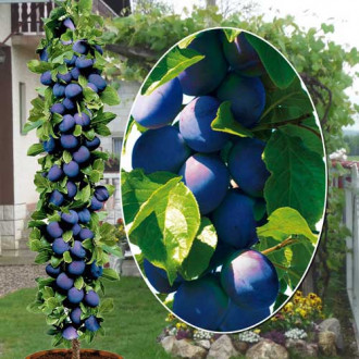 Prun columnar Fruca imagine 1