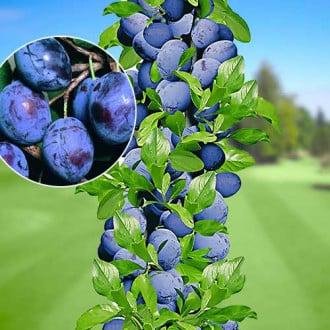 Prun columnar Sweet Blue imagine 5