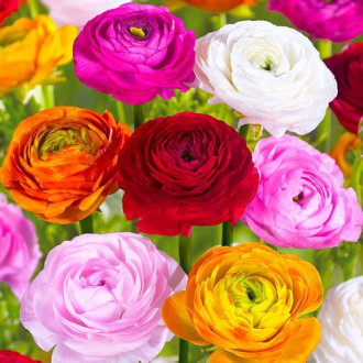 Ranunculus mix multicolor imagine 2
