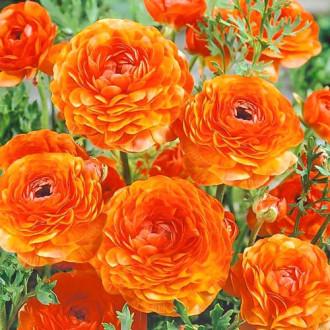 Ranunculus Orange imagine 3