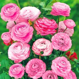 Ranunculus Pink imagine 4