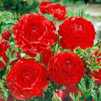 Ranunculus Red imagine 5