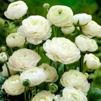 Ranunculus White imagine 5