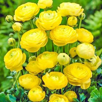 Ranunculus Yellow imagine 6
