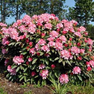 Rhododendron Fantasy imagine 1