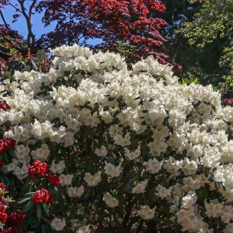 Rhododendron Gartendirektor Rieger imagine 6
