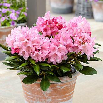 Rhododendron Hania imagine 4