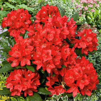 Rhododendron Red Jack imagine 5