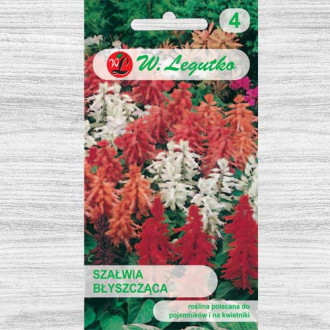 Salvie decorativă, mix multicolor Legutko imagine 3