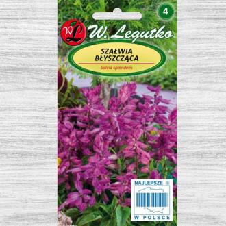 Salvie decorativă violet Legutko imagine 2
