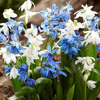 Scilla Spring Beauty imagine 3