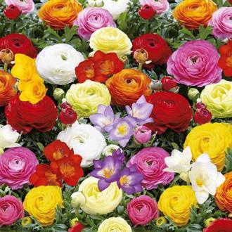 Super ofertă! Frezie și Ranunculus Butterfly Beauty mix multicolor imagine 2