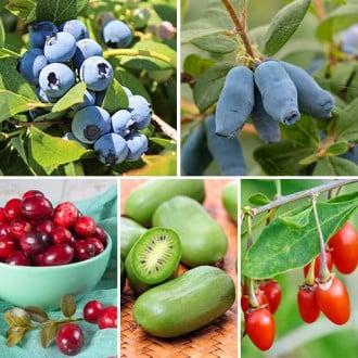 Super ofertă! Arbuști fructiferi Perla Siberiei, set de 5 soiuri imagine 8