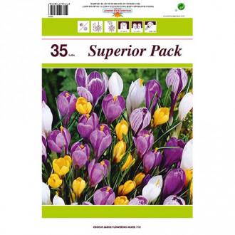 Super ofertă! Brândușe botanical mix multicolor, set de 35 bulbi imagine 8