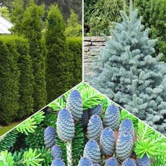 Super ofertă! Conifere Magic Forest. set de 3 puieţi imagine 7