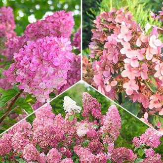 Super ofertă! Hortensii Pink Sensation, set de 3 soiuri imagine 5