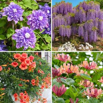 Super ofertă! Plante ornamentale Mireasma zorilor, set de 4 soiuri imagine 2