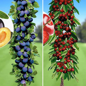 Super ofertă! Pomi columnari Deliciul fructelor, set de 2 soiuri imagine 6