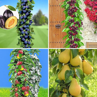 Super ofertă! Pomi columnari Livada de acasă, set de 4 soiuri imagine 7