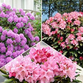 Super ofertă! Rhododendroni Trio, set de 3 soiuri imagine 4