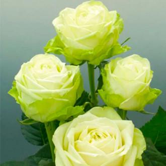 Trandafir teahibrid Green imagine 7