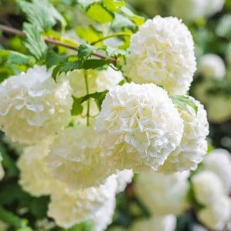Călin Roseum imagine 2
