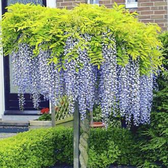 Glicină (Wisteria sinensis) Blue Prolific imagine 1