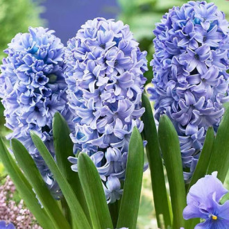 Zambile Blue Eyes imagine 4
