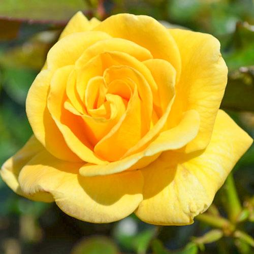 Trandafir floribunda Conquest imagine 1 articol 4549