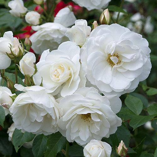 Trandafir floribunda Crystal Mella imagine 1 articol 4550