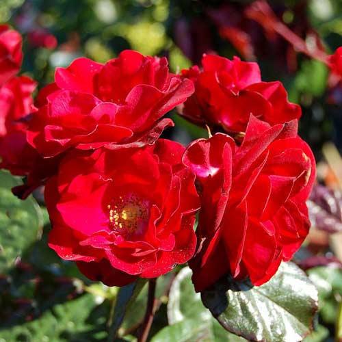 Trandafir floribunda Europeana imagine 1 articol 3677