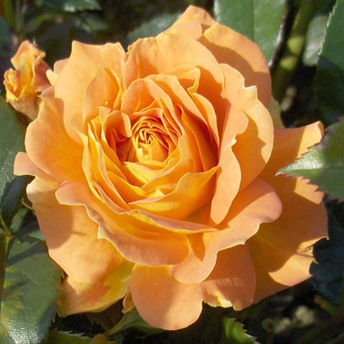 Trandafir floribunda Goldelse imagine 1 articol 4551
