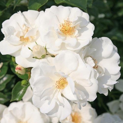 Trandafir floribunda Innocencia imagine 1 articol 4552