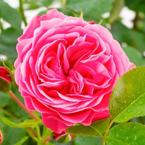 Trandafir floribunda Leonardo da Vinci imagine 1 articol 4553