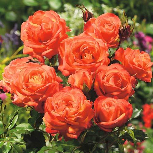 Trandafir floribunda Orange