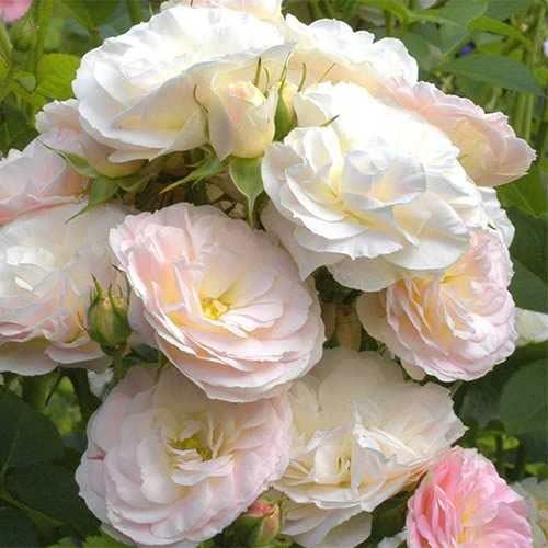 Trandafir floribunda Part Flight