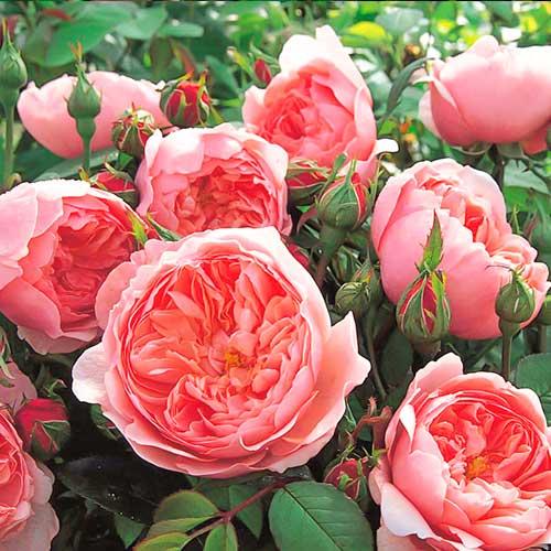 Trandafir floribunda Pink Meilove imagine 1 articol 4554