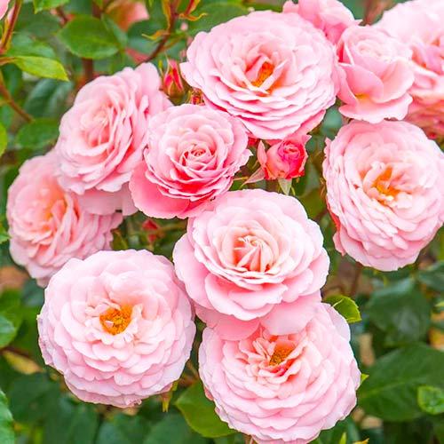 Trandafir floribunda Pink