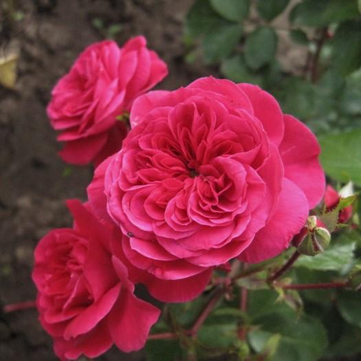 Trandafir floribunda Sava Reka imagine 1 articol 4556