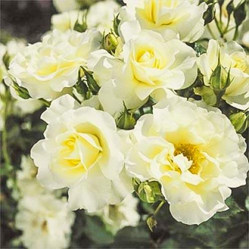 Trandafir floribunda White Meilove imagine 1 articol 4557