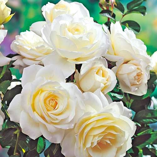 Trandafir floribunda White imagine 1 articol 3613