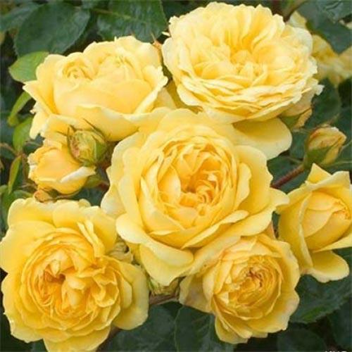 Trandafir floribunda Yellow Meilove imagine 1 articol 4558