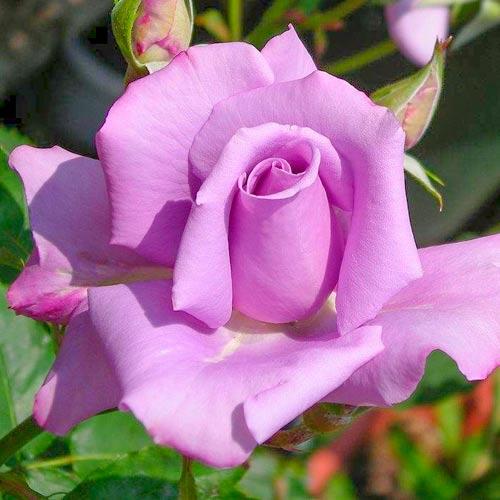 Trandafir teahibrid Blue & Violet imagine 1 articol 2114